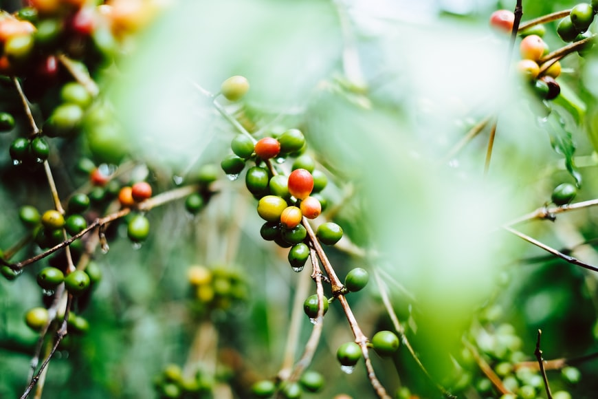 What is Cherry Coffee